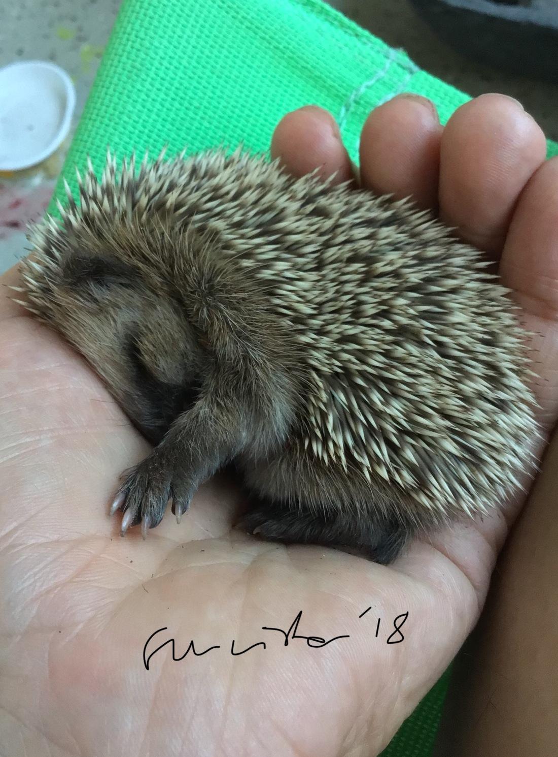 hedgehoe at sleep